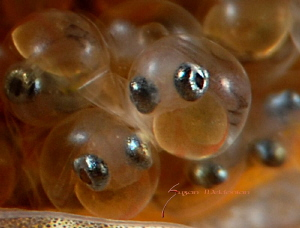 Dusky Jawfish eggs as close as possible. by Suzan Meldonian 